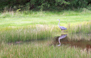 A blue heron enjoys a pond at Crooked Creek Lake, Ford City, PA.